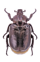 Male of endangered hermit beetle (Osmoderma eremita)