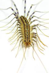 house centipede (Scutigera coleoptrata)