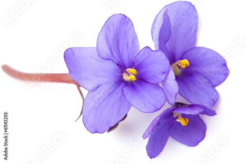 Foto op Canvas Lilac saintpaulia