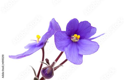Aluminium Lilac saintpaulia