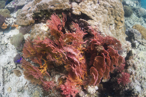 Knotted sea fan (Melithaea ochracea)