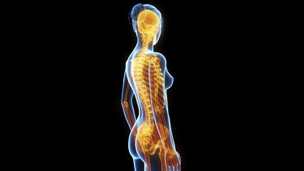 medical animation - women´s skeleton