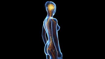 medical animation - women´s nerves