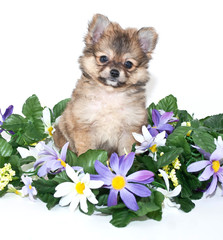 Sweet Pomeranian Puppy