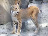 Beautiful Eurasian lynx enclosure. poster