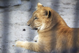 Year-old liger in the aviary. poster