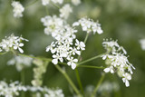 Caraway (Carum carvi) or meridian fennel poster
