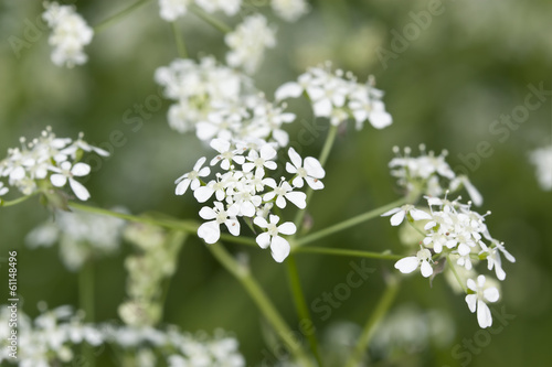 Caraway (Carum carvi) or meridian fennel