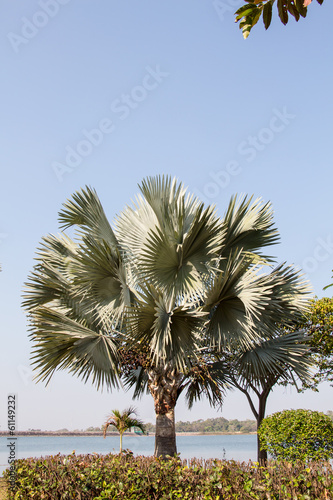 detail of palm fronds on a beautiful bismark palm tree