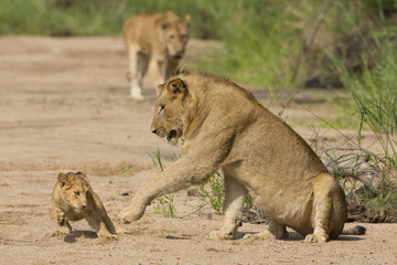 African Lion cub and mother (Panthera leo) South Africa