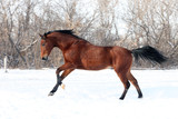 Trakehner stallion galloping across a snowfield
