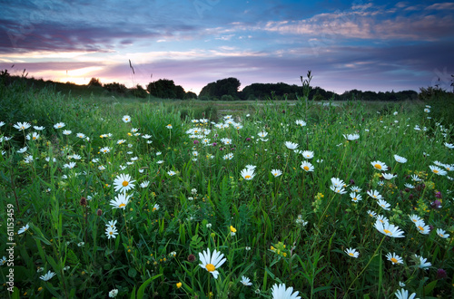 Leinwandbild Motiv chamomile flowers on summer meadows at sunset