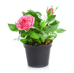 Bunch of pink roses in flowerpot.