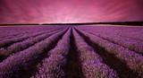Stunning lavender field landscape at sunset