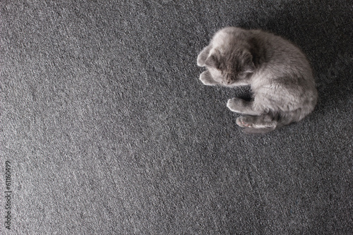 little grey  kitten