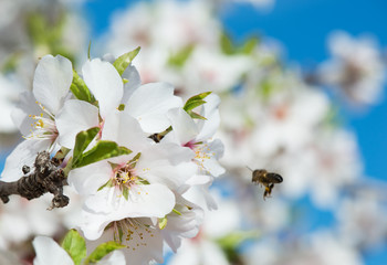 Almond Blossom and bee