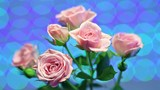 Pink rose with flashing background