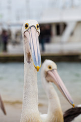 Extreme closeup of Australian Pelican making a funny face