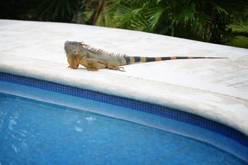 Iguana eager for a swim in the pool
