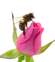 bee and pink rose