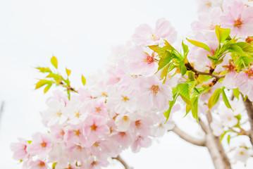 白とピンクの珍しい桜の花