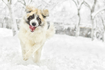 happy romanian shepherd running in the snow
