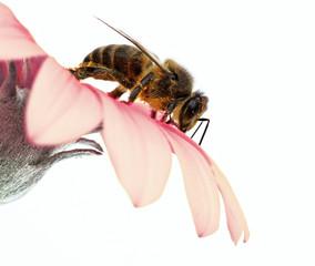 abeja recogiendo polen
