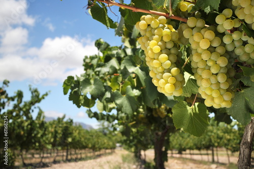 Chardonnay grapes on vine in vineyard