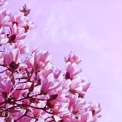 Springtime, magnolia in bloom