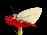 mariposa sobre fondo negro