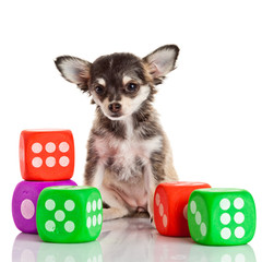 Chihuahua puppy on white background