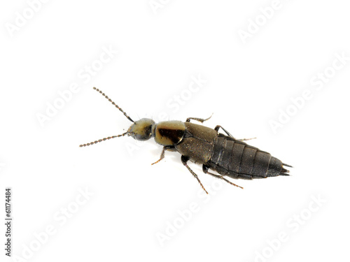 Rove beetle on white background