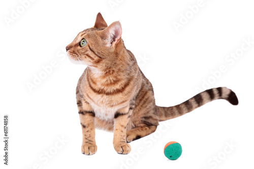 Brown cat breed Bengal (leopard cat - Prionailurus bengalensis)