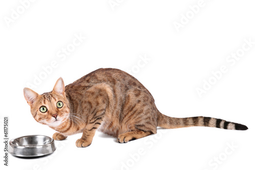 Tuinposter Luipaard Brown cat breed Bengal (leopard cat - Prionailurus bengalensis)