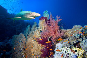 Underwater image of coral reef with shark