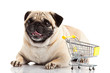 Pug dog with shopping cart isolated on white.