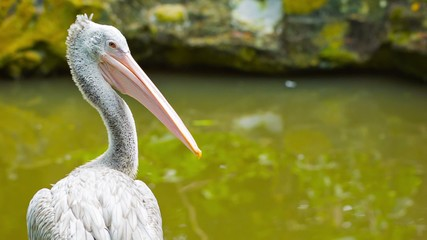 Pelican looking at you