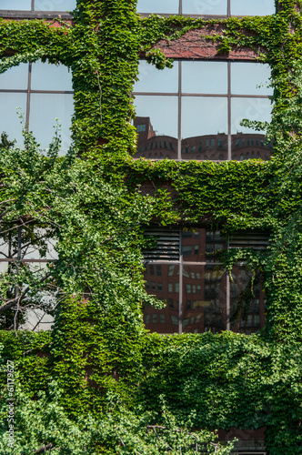 View of a window and of a wall covered with ivy