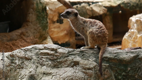 Meerkat stand and look around without moving