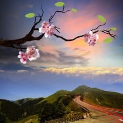 Beautiful flowering Japanese cherry - Sakura