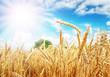 Wheat ears under the sun - 61187834