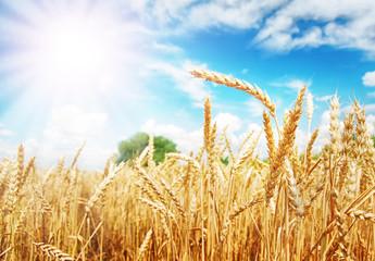 Wheat ears under the sun