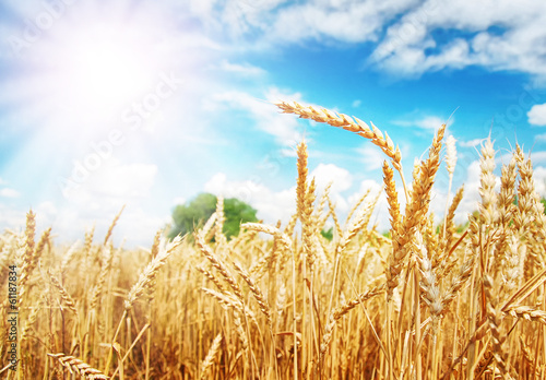 Wheat ears under the sun