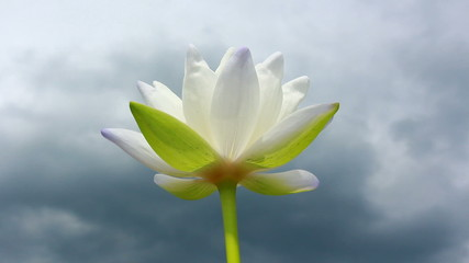 white lotus close up low angle view