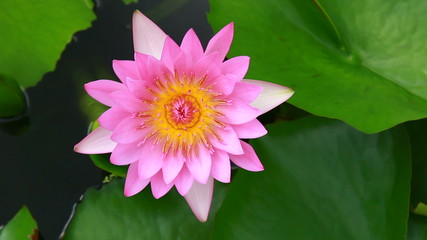 pink lotus top view in nature