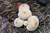 Raincoats mushrooms