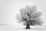 Fototapety Beautiful tree in winter time in February 2014, Romania