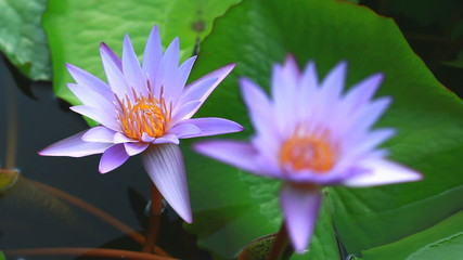 two lotus against wind in nature