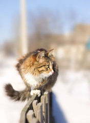 cute fluffy cat sitting on a fence in winter