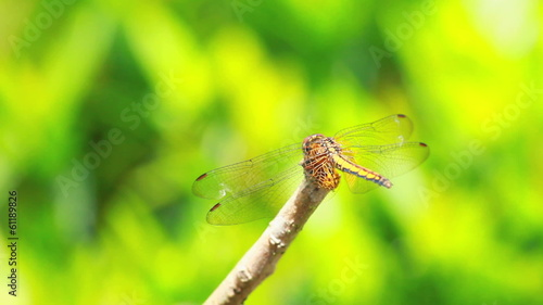 yellow dragonfly holding branch Stretching wing before flying